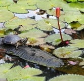 Turtle. Royalty Free Stock Photo