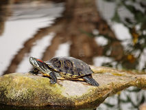 Turtle. Painted turtled in natural vivarium Stock Images