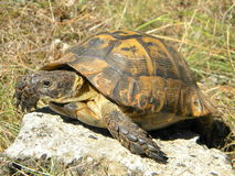 Turtle. A turtle walking on a stone Royalty Free Stock Images