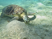 The Turtle Stock Photography