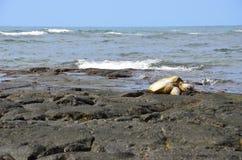 Turtle. At sea shore of Hawaii big island Royalty Free Stock Photo