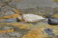 Turtle. At sea shore of Hawaii big island stock photography