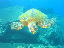 Turtle. Hawaiian Green Sea Turtle Royalty Free Stock Images