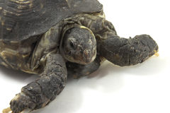 Turtle. Close up on a white background Stock Photos