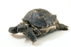 Turtle. Close up on a white background Royalty Free Stock Photos