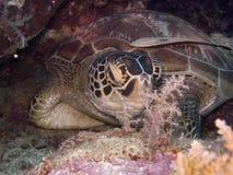 Turtle1 fotografia stock