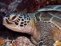 Turtle2 Стоковые Фото