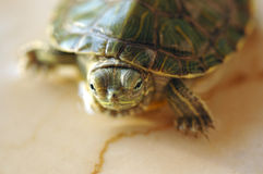 Turtle. Green Turtle stand in marble lighting in one side by the sun Royalty Free Stock Photo