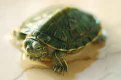 Turtle. Green Turtle stand in marble lighting in one side by the sun Stock Photography