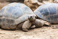 Free Turtle Royalty Free Stock Photography - 34489517
