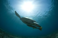 Turtle. A turtle wades gracefully in the sea Royalty Free Stock Photos
