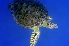 Turtle. Imbricated Turtle (Eretmochelus imbricata) close-up. Maldives. Indian ocean. Addu atoll royalty free stock images