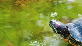 Turtle. Sweet Turtle video on the Green Lake stock video footage
