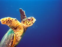 Turtle. Sea turtle at red sea royalty free stock photos