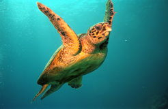 Turtle. Photo of a sea turtle at red sea Stock Image