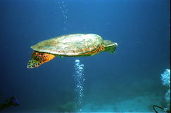 Turtle. Underwater photo of a sea turtle Stock Photos