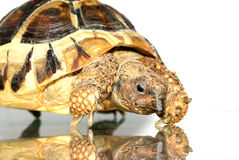Turtle 4 Royalty Free Stock Photography