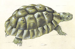 Turtle. A watercolor illustration of a turtle Stock Images