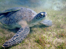 Turtle. Underwater landscape with turtle. The Red Sea stock photography