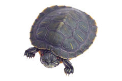 Turtle. Small 4-5 inch turtle isolated on white background Royalty Free Stock Photos