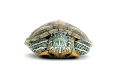 Turtle. Green beautiful turtle on white background royalty free stock images