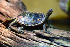 Turtle. A turtle enjoys the warmth of a lamp in a zoo Royalty Free Stock Photography