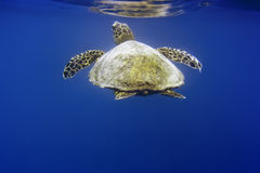 Turtle. Is going to breathing underwater royalty free stock images