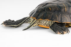 Turtle. On a white background. See more in my portfolio Stock Images