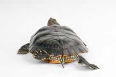 Turtle. On a white background. See more in my portfolio Stock Photography