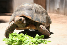 Turtle. Eating stock photo