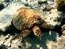 Turtle. This Hawksbill Turtle lives in Maldivian coral reef Royalty Free Stock Images
