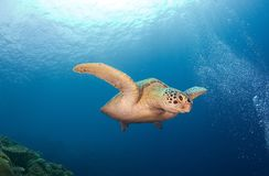 Turtle. On the sea. Diving on Sipadan Royalty Free Stock Images
