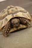 Turtle. Reptile turtle, desert animal, slow speed, non isolated royalty free stock photo