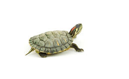 Turtle. Red ear turtle studio isolated Royalty Free Stock Photo