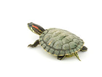 Turtle. Red ear turtle studio isolated Royalty Free Stock Image