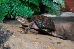 Turtle 5. Box turtle posing on his rock royalty free stock image