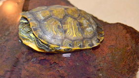 Turtle Stock Images