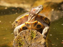Turtle. A turtle sitting on a log above the water level Royalty Free Stock Photo