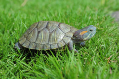 Free Turtle Stock Photo - 5297350