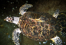 Turtle. Close up of a big turtle in water Royalty Free Stock Photos
