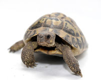 Turtle. Reptile turtle that walks,Reptile and amphibians royalty free stock photography