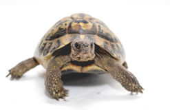 Turtle. Reptile turtle that walks,Reptile and amphibians Stock Images