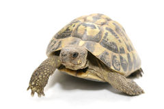 Turtle. Reptile turtle that walks,Reptile and amphibians Stock Photo