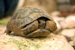 Turtle. Is hiding in its shell royalty free stock image