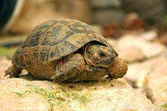 Turtle. Is peeking out of its shell royalty free stock photography