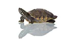 Turtle. Photo of a turtle with reflection isolated on white background. Studio shot Royalty Free Stock Image