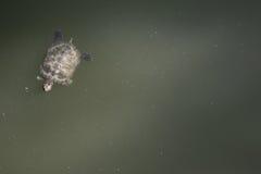 Turtle. Swimming stock photos