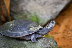 Turtle. The sea turtle stretching its neck Royalty Free Stock Photo