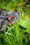 Turtle. Larger turtles against a backdrop of green grass Stock Photography