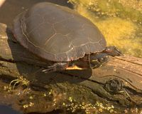 Turtle. Perched on a log stock images